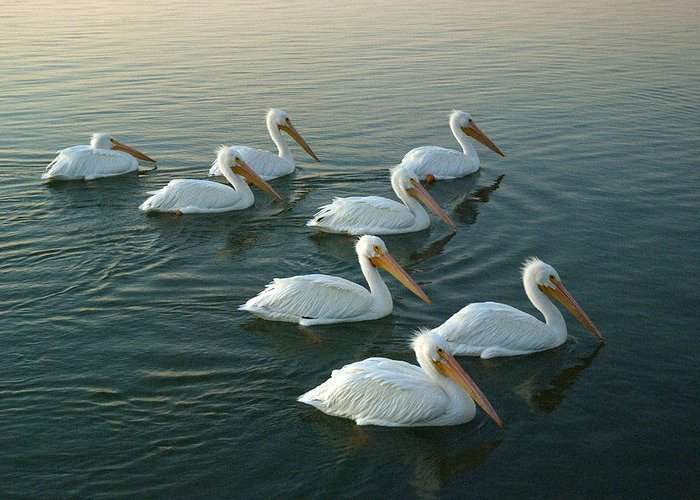 Pelicans Greeting Card featuring the photograph The Armada by Robert Anschutz