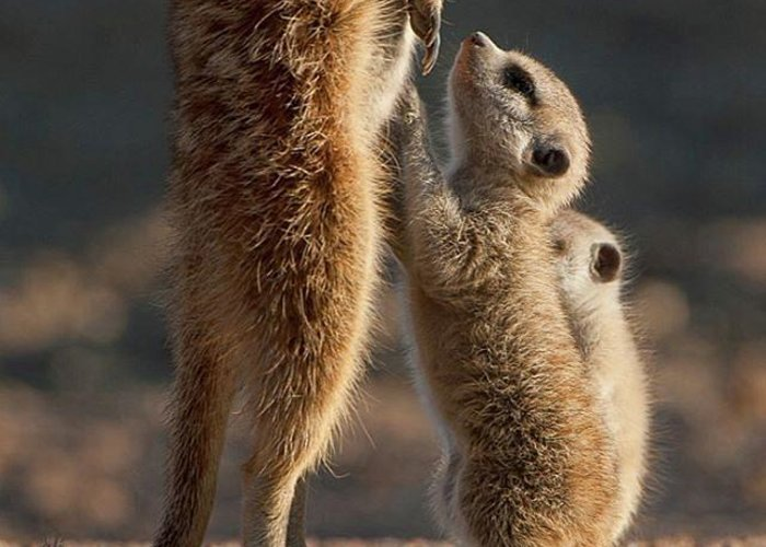 Meerkats Greeting Cards