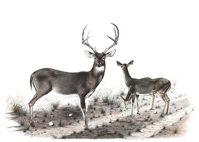 Whitetail Greeting Card featuring the drawing The Backroad by Steve Maynard