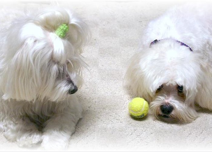 Photograph Maltese Dogs Greeting Card featuring the photograph The Ball by BJ Redmond