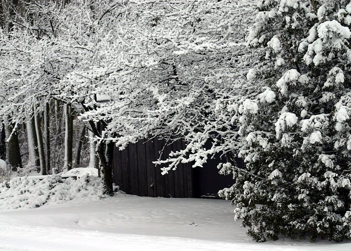 Blizzard Snow Pine Trees Greeting Card featuring the photograph The Blizzard Is Over by Jack G Brauer