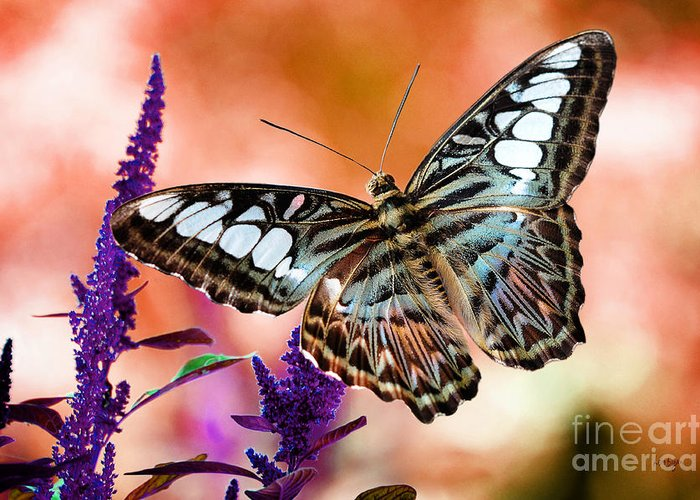 Butterflies Greeting Card featuring the photograph The Blue Clipper by Lois Bryan