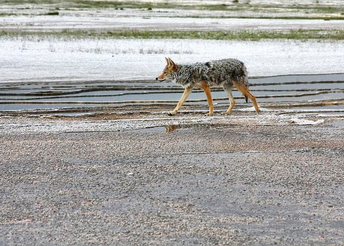Coyote Greeting Card featuring the photograph The Coyote - Dogs Are By Far More Dangerous by Christine Till