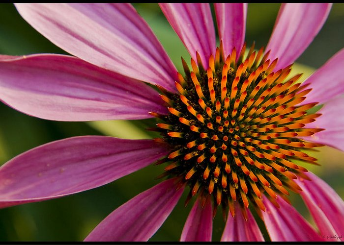 Flora Greeting Card featuring the photograph The Fire Within by Daniel G Walczyk