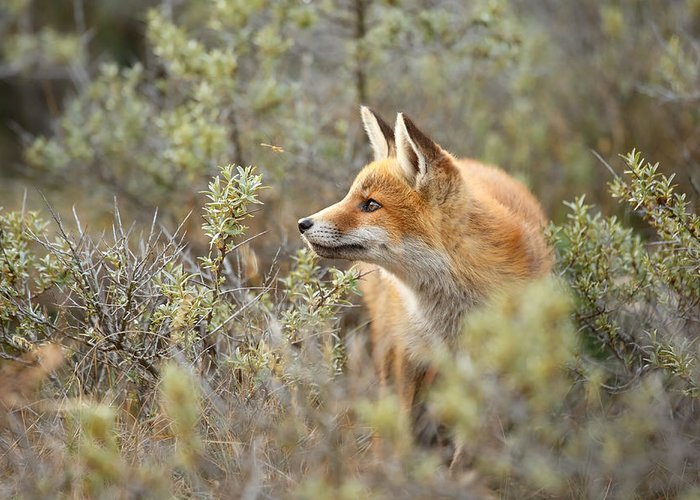 Red Fox Greeting Card featuring the photograph The Fox And Its Prey by Roeselien Raimond