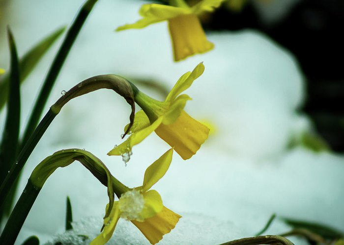 Daffodil Greeting Card featuring the photograph The Hand Over by Robert Zeigler