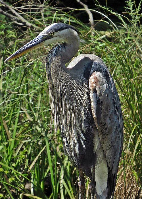 Animal Greeting Card featuring the photograph The Heron by Norman Vedder