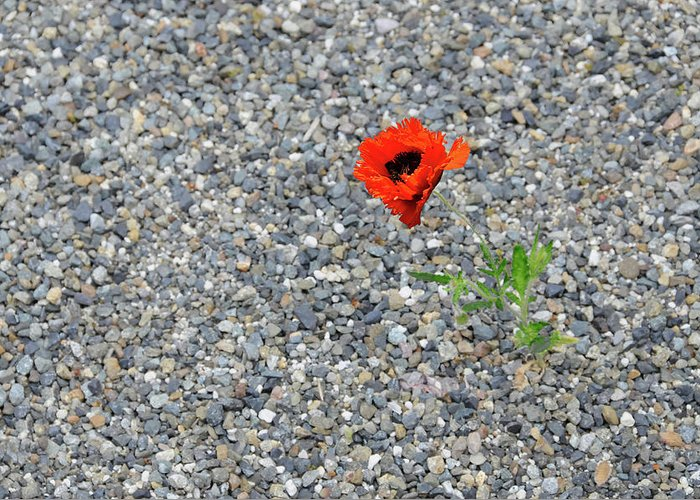 Poppy Greeting Card featuring the photograph The Hopeful Poppy by Michael Bessler