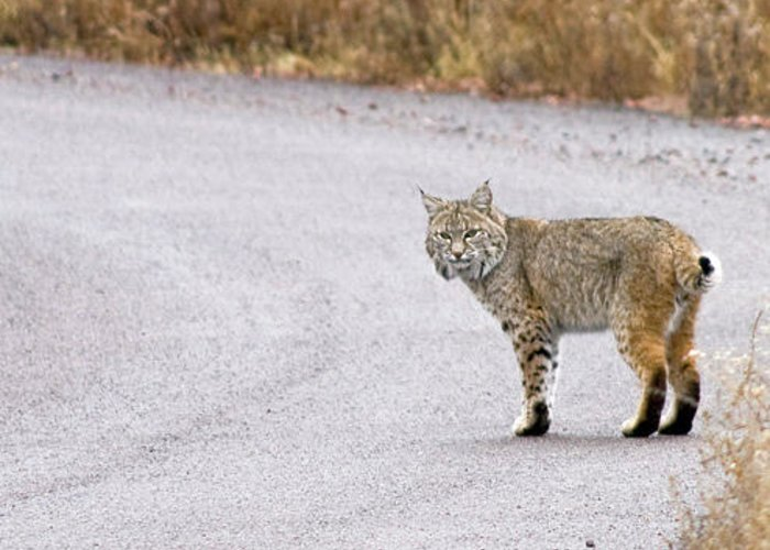 Bobcat Greeting Card featuring the photograph 'the Hunter' by Wayne Johnson
