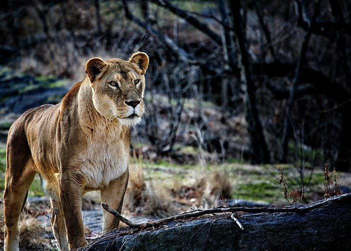 Lion.lioness Greeting Card featuring the photograph The Lioness by Karol Livote