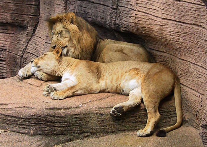 Lions Greeting Card featuring the photograph The Lions by Michele Caporaso