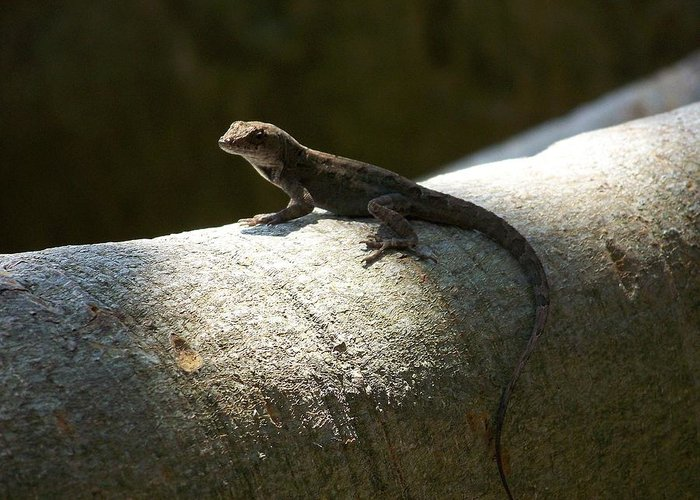 Lizards Greeting Card featuring the photograph The Lone Lizard by Amanda Vouglas