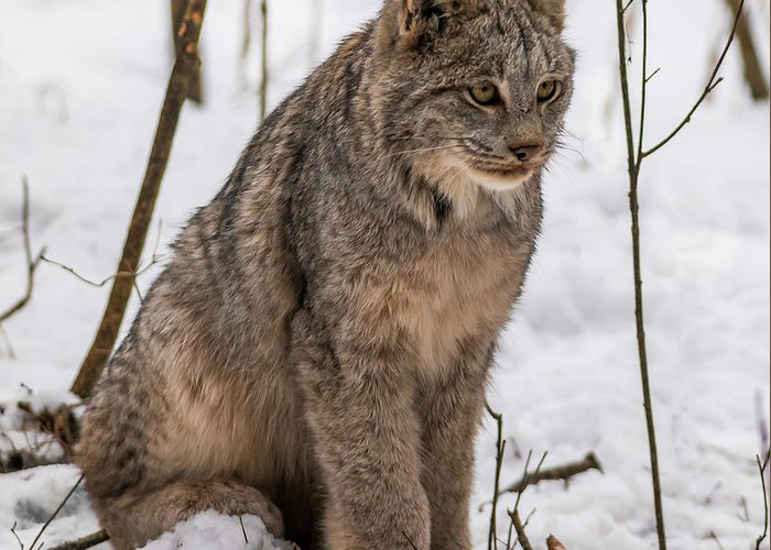 Lynx Greeting Card featuring the photograph The Lynx by Linda Ryma
