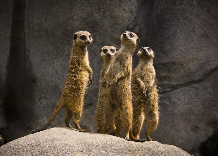 Chad Davis Greeting Card featuring the photograph The Meerkat Four by Chad Davis