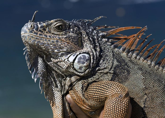 Animal Greeting Card featuring the photograph The Night Of The Iguana by Carl Purcell