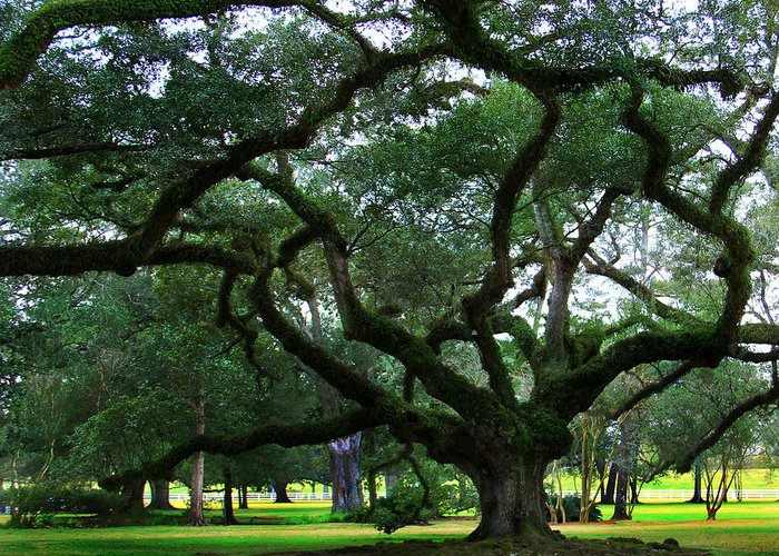 Oak Alley Greeting Card featuring the photograph The Old Oak by Perry Webster