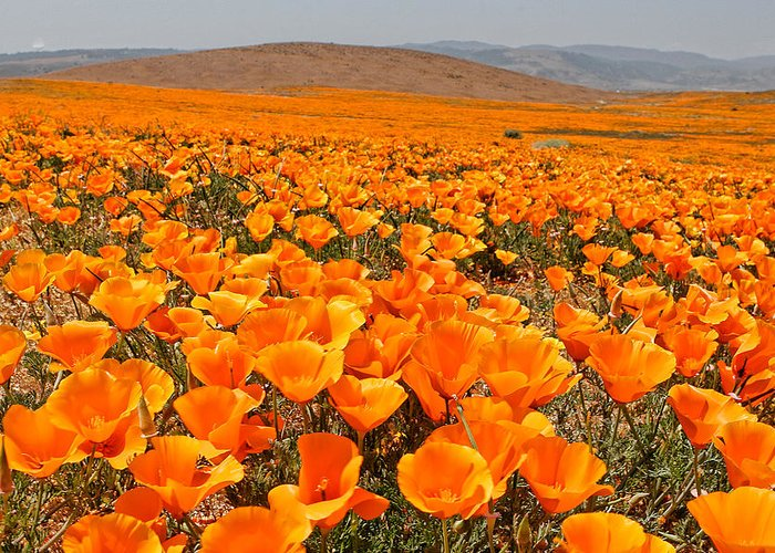 Antelope Valley Greeting Card featuring the photograph The Poppy Fields - Antelope Valley by Peter Tellone