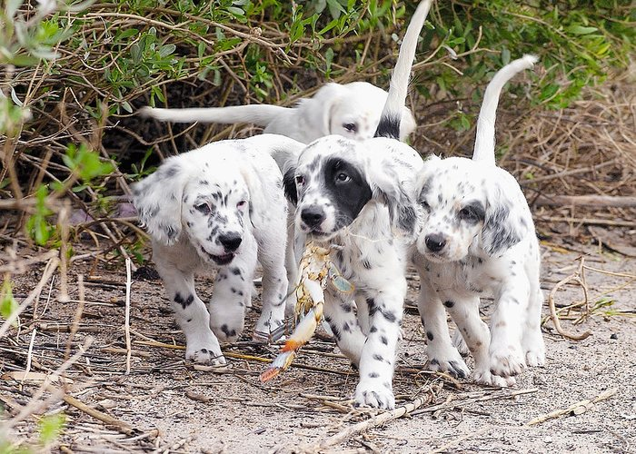 English Setter Greeting Card featuring the photograph The Puppy's Prize by Scott Hansen