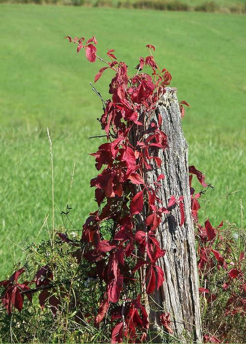 Vine Greeting Card featuring the photograph The Red Vine - Photograph by Jackie Mueller-Jones