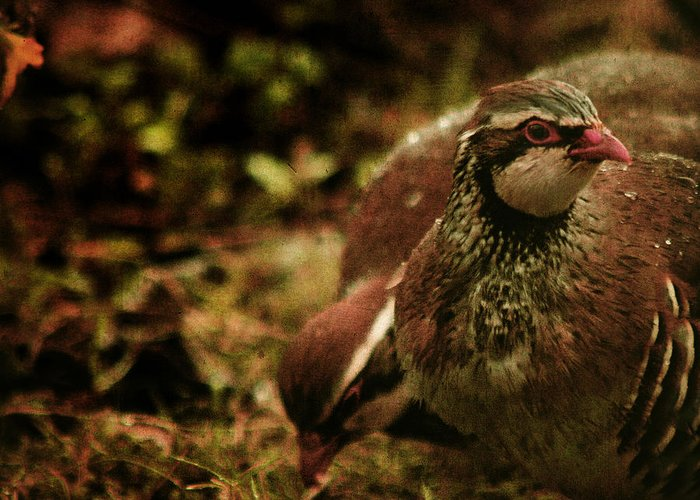 Partridge Greeting Card featuring the photograph The Redlegged Partridges by Angel Ciesniarska