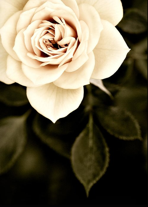 Rose Greeting Card featuring the photograph The Softest Rose by Marilyn Hunt