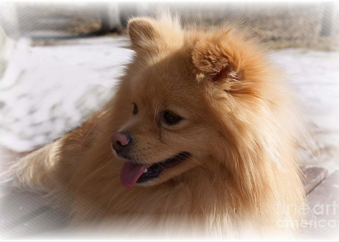 Pomeranian Dog Greeting Card featuring the photograph The Sun On My Back by Joanne Smoley