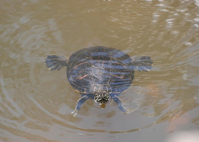 Water Greeting Card featuring the photograph The Swimming Turtle by Rob Hans
