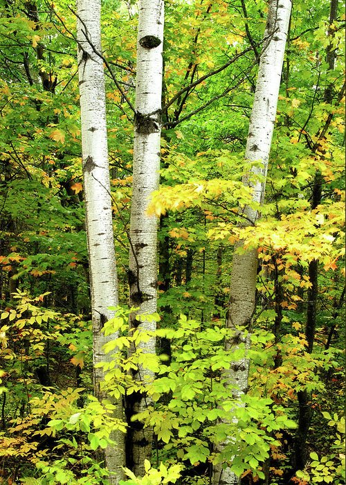 Birch Greeting Card featuring the photograph The Three Birch by Michael Peychich