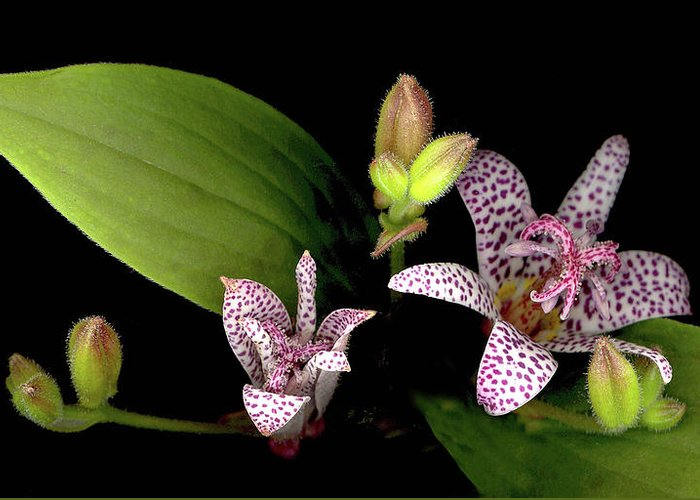 Lily Greeting Card featuring the photograph The Toad Lily by Sandi F Hutchins