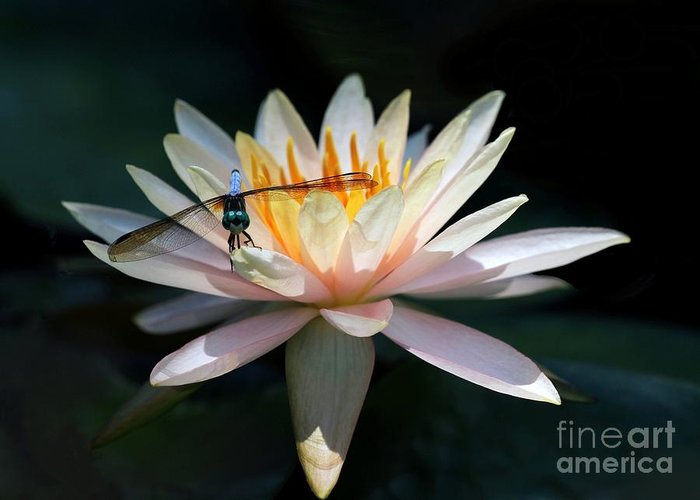 Water Lily Greeting Card featuring the photograph The Water Lily And The Dragonfly by Sabrina L Ryan