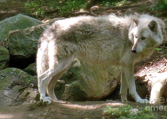 Wild Wolves Group B Greeting Card featuring the photograph The Wild Wolve Group B by Debra   Vatalaro