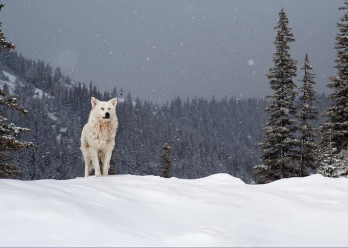 Animals Greeting Card featuring the photograph The Wolf by Evgeni Dinev