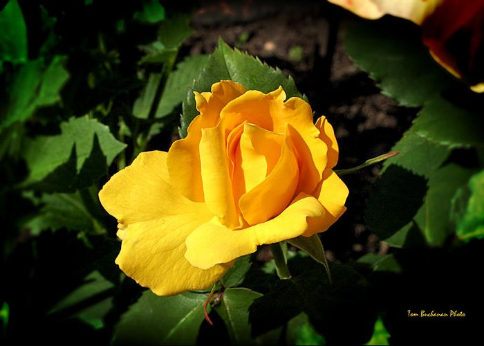 Yellow Greeting Card featuring the photograph The Yellow Rose Of Garden by Tom Buchanan