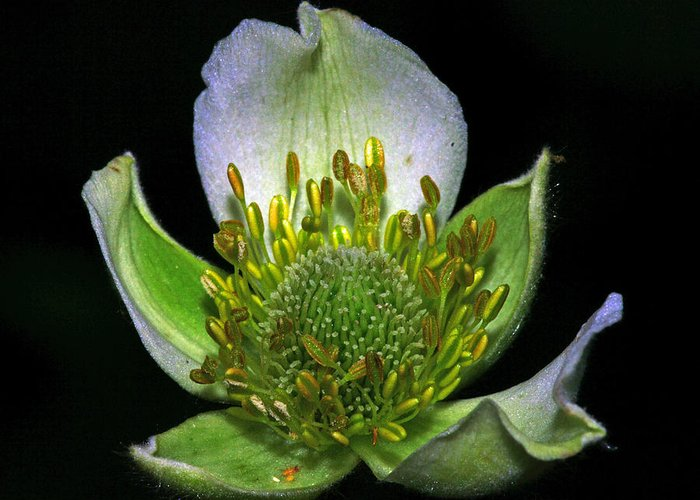 Wildflowers Greeting Card featuring the photograph Thimbleweed Anemone Virginiana by Ron Kruger