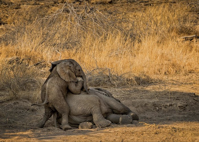 Etosha Greeting Card featuring the photograph This Is Namibia No. 4 - Come On Bro I Wanna Play by Paul W Sharpe Aka Wizard of Wonders