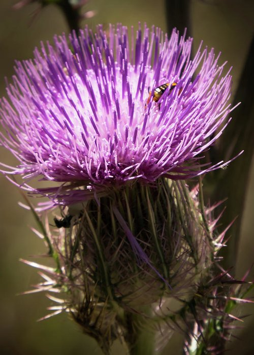 Thistle Greeting Card featuring the photograph Thistle by Zina Stromberg