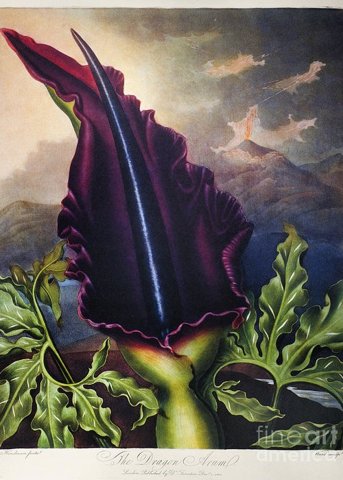 1801 Greeting Card featuring the photograph Thornton: Dragon Arum by Granger