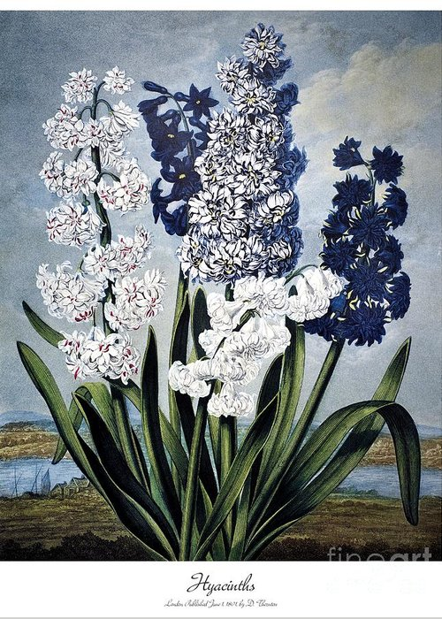 1801 Greeting Card featuring the photograph Thornton: Hyacinths by Granger