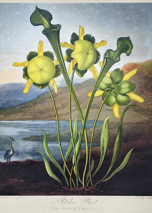 1803 Greeting Card featuring the photograph Thornton: Pitcher Plant by Granger
