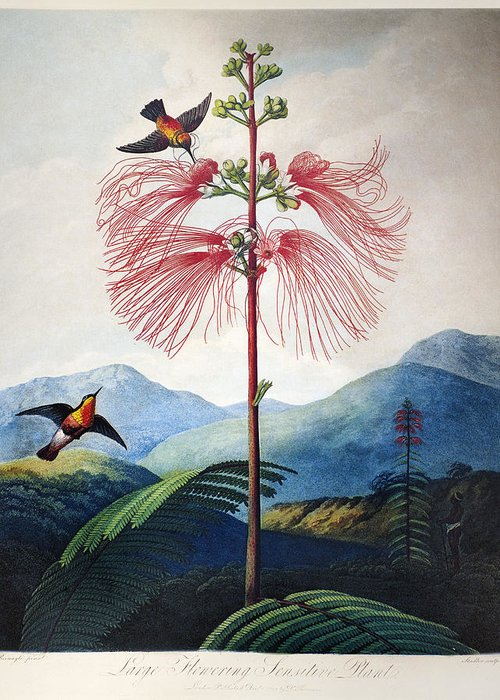 1799 Greeting Card featuring the photograph Thornton: Sensitive Plant by Granger