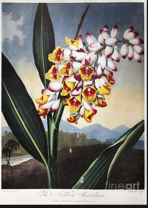 1801 Greeting Card featuring the photograph Thornton: Shell Ginger by Granger