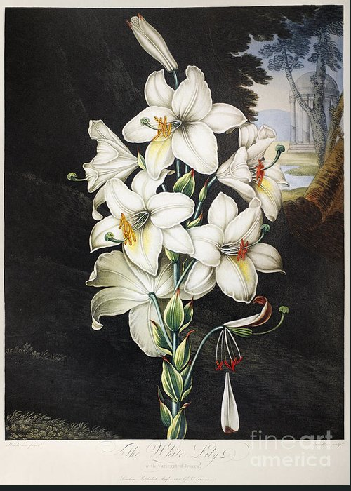 1800 Greeting Card featuring the photograph Thornton: White Lily by Granger