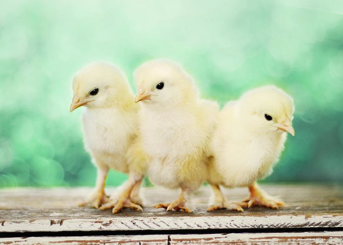 Baby Chicks Greeting Card featuring the photograph Three Amigos by Amy Tyler