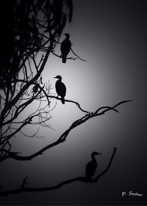 Black & White Greeting Card featuring the photograph Three Commorants by Patricia Stalter