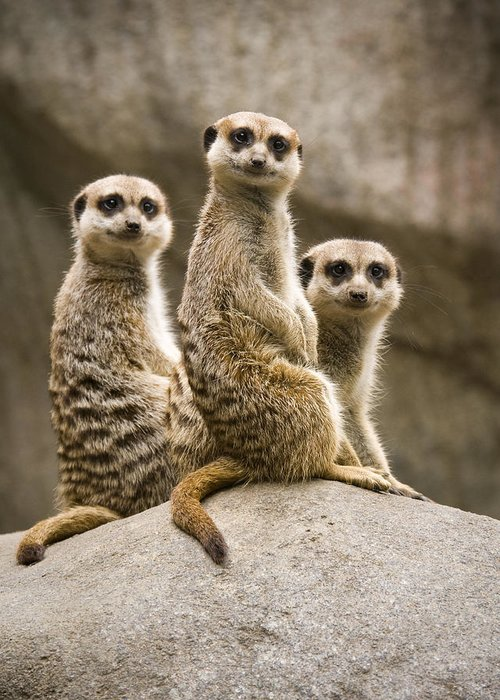 Chad Davis Greeting Card featuring the photograph Three Meerkats by Chad Davis