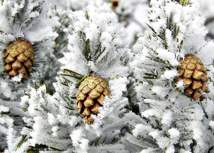 Frosty Greeting Card featuring the photograph Three Pinecones by Marilyn Hunt