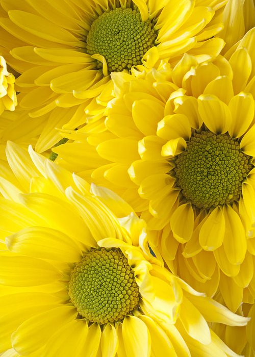 Three Yellow Daisies Mums Cremon Greeting Card featuring the photograph Three Yellow Daisies by Garry Gay