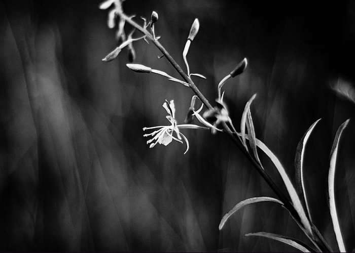Black And White Photography Greeting Card featuring the photograph Tickled By The Wind by Kelly Hayner