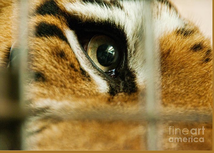 Prison Greeting Card featuring the photograph Tiger Behind Bars by Melody Watson