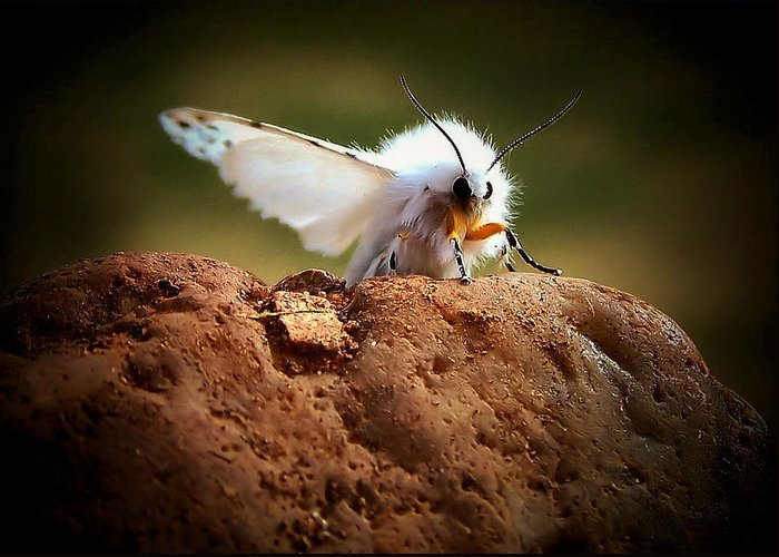 Moth Greeting Card featuring the photograph Tiger Moth by Karen Scovill